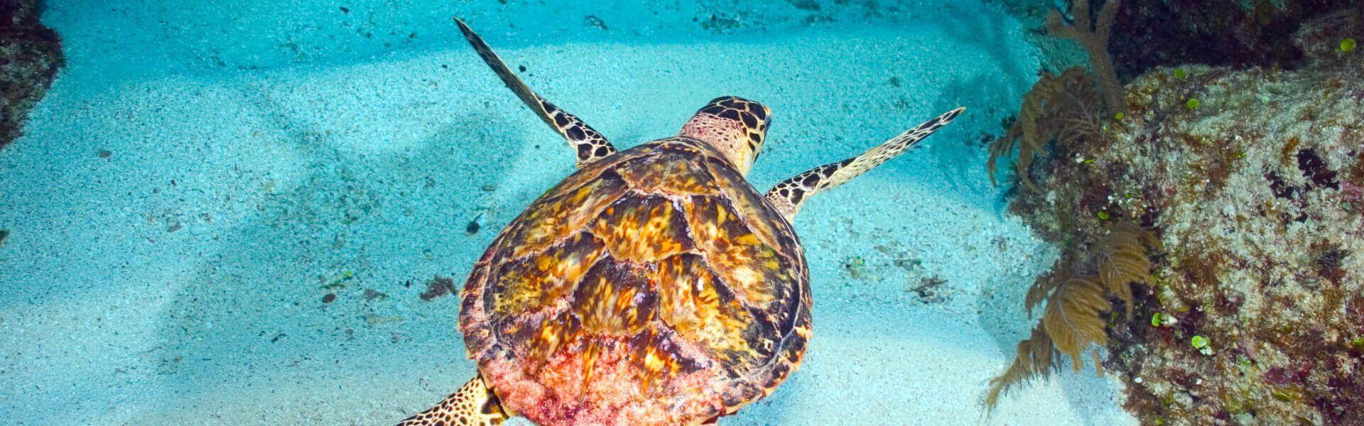 San Pedro Belize turtle